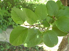 Cydonia oblonga leaves.jpg