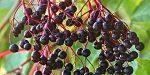 Бузина ягода черная фото – лечебные свойства и противопоказания, описание, польза и вред цветов в медицине, фото, можно ли есть её ягоды