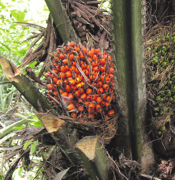 Пальмовое масло чем плохо – правда и мифы о вреде пальмового масла или правда о том, зачем пальмовое масло добавляют в молоко