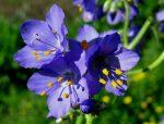 Синюха лазурная – лекарственное растение, применение, отзывы, полезные свойства, противопоказания, формула цветка